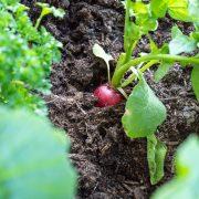 radijs-zaaien-kweken-oogsten-balkon